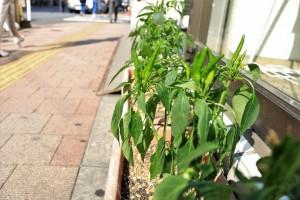 プランターでも栽培できるという内藤とうがらし。今の時期は青々とした実をつける=東京都新宿区高田馬場、高田馬場郵便局前にて、黒田杏子撮影